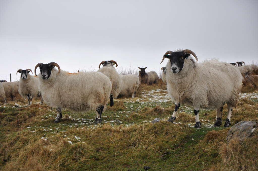 Islay Black Sheep